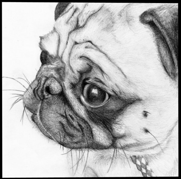 pug_by_phoebe_johnson